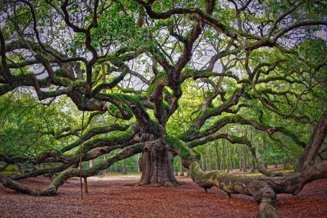 Angel Oak Charleston County South Carolina