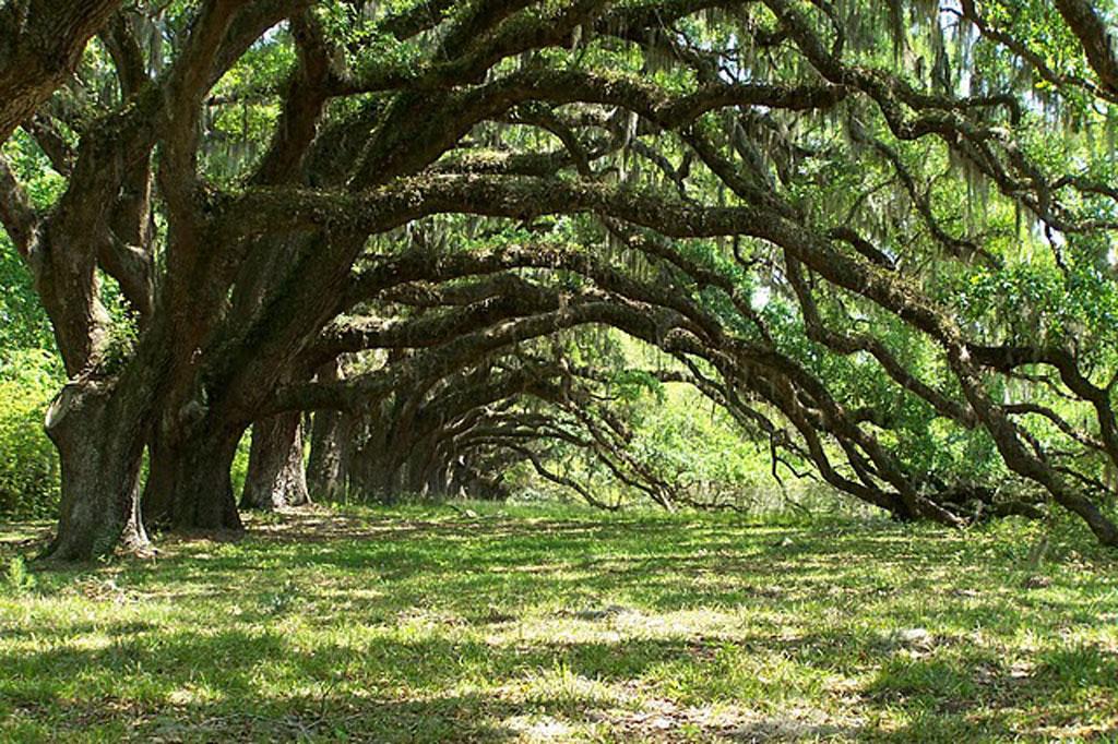Trees at Dixie Plantation 2008 - Charleston County, South Carolina